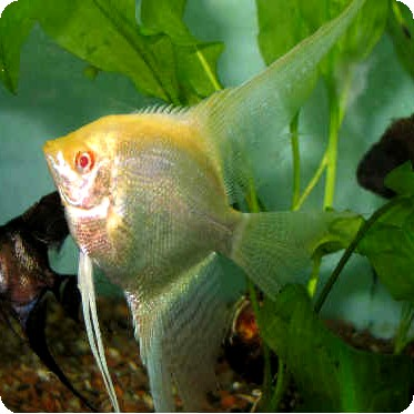 Angelfish - Albino Yellow Platinum - Small
