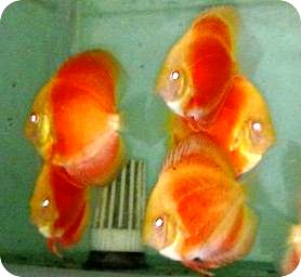 Albino Yellow Faced Blood Red Discus Fish - 2.5-3 inch