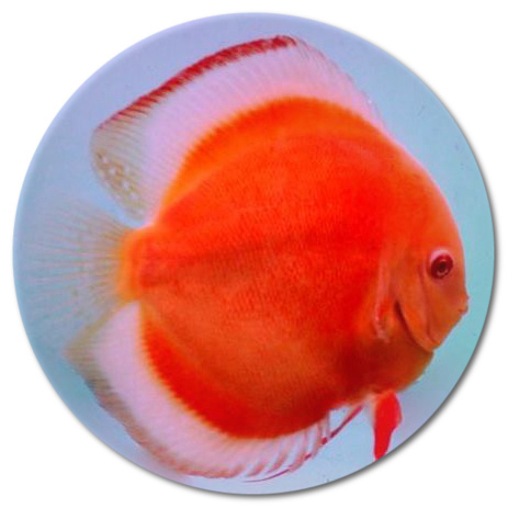 Albino Full Body Red Diamond Discus Fish - 2-3 inch