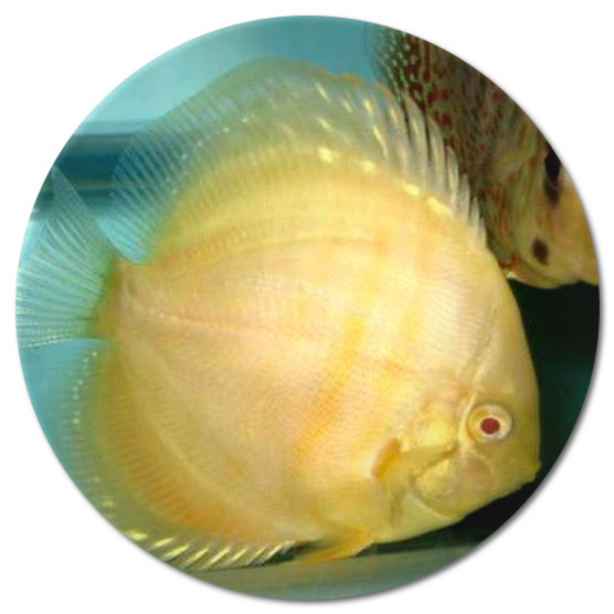 Albino Golden Sunrise Discus Fish - 2-3 inch