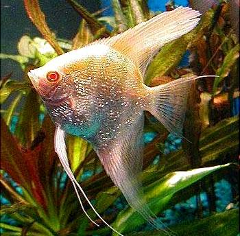 Angelfish-Albino Intense Gold Pearlscale-Medium-Quantity of 5
