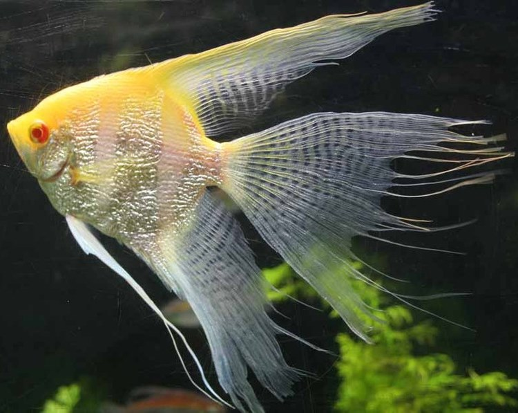 Angelfish - Albino Pearlscale Lace Superveil - Medium