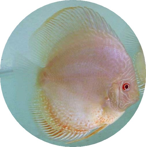 Albino Rabbit Eye Discus Fish - 2-3 inch