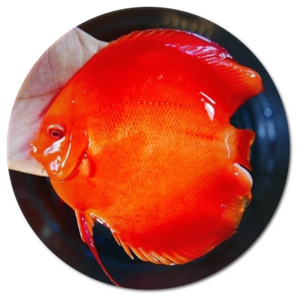 Albino Solid Red Diamond Discus Fish - 3 inch