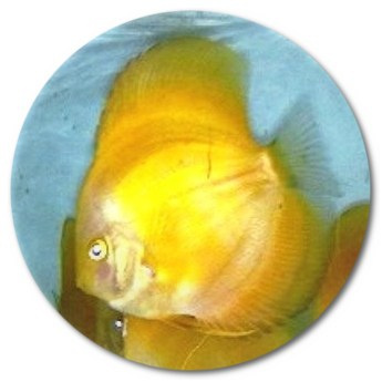 Albino White Faced Siam Yellow Master Discus Fish - 2.25-3 inch