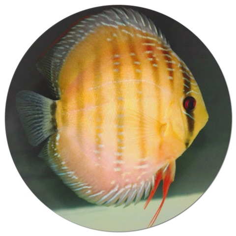 Yellow Rose Alenquer Discus Fish - 2.5 inch