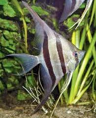 Angelfish - Altum - Medium - Quantity of 5