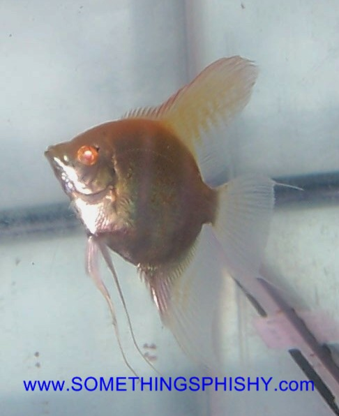 Angelfish-Albino Pure Platinum - Medium