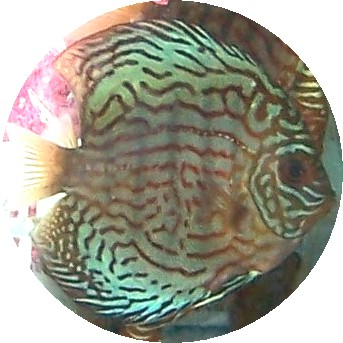 AquaGreen Scribble Discus Fish - 2-3 inch
