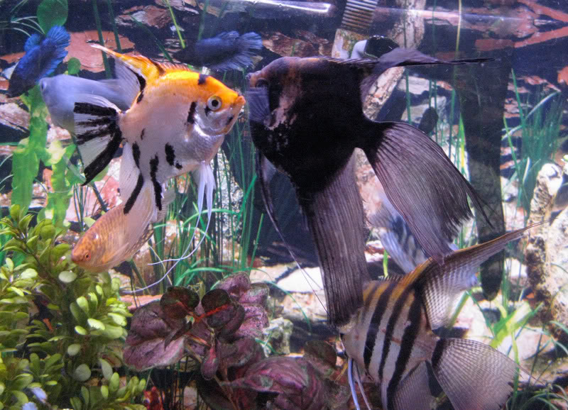 *Assorted Angelfish - Large - Quantity of 5