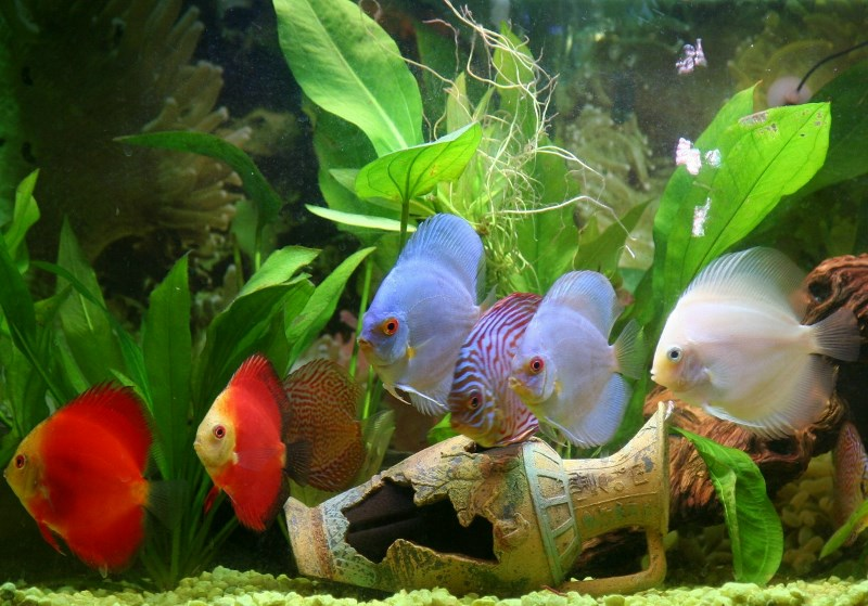 *Assorted Discus Fish 2 inch - 10 Pack