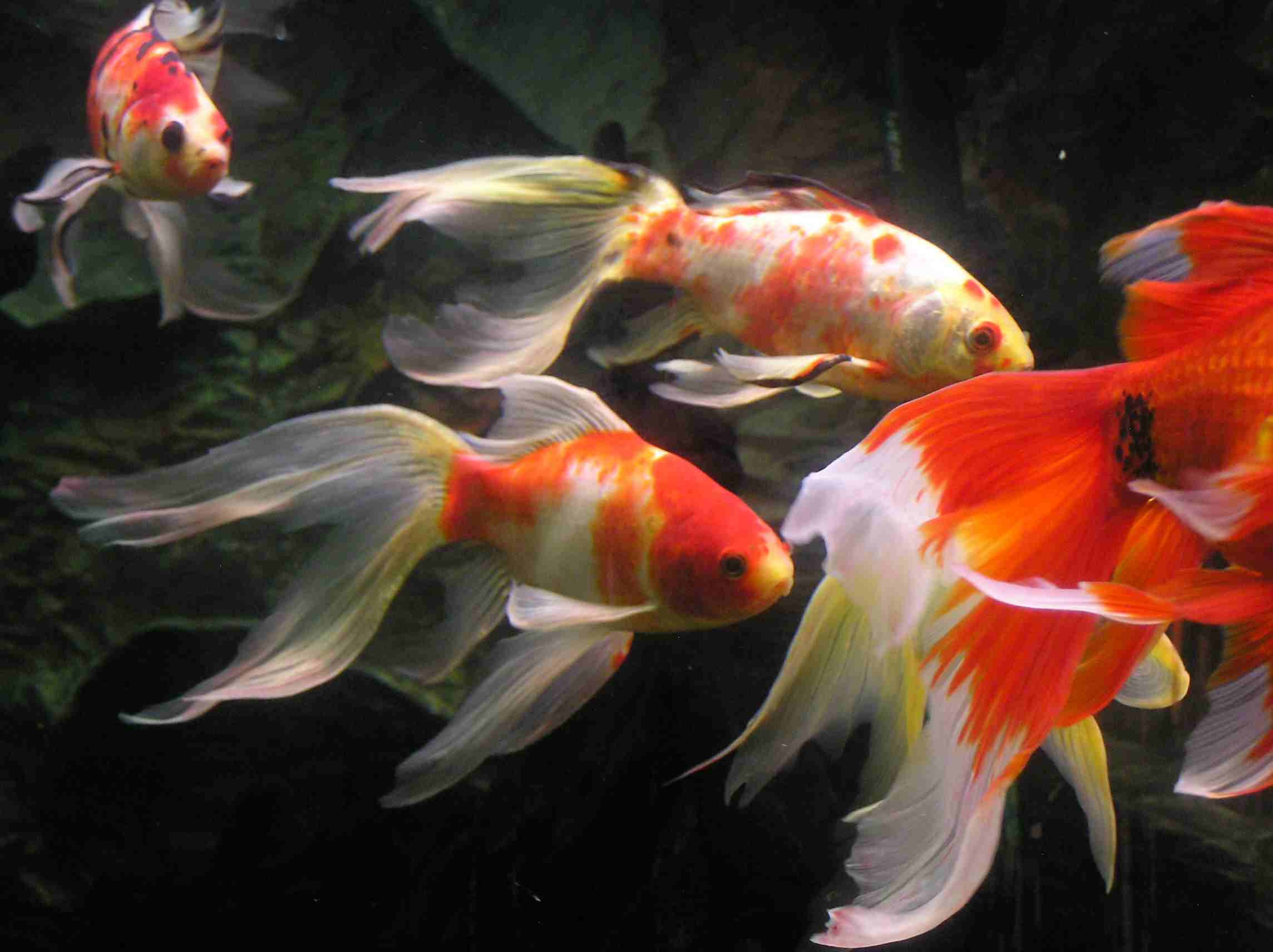 Aspundir aquarium fish for Koi fish water