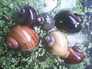 Mystery Snails - Assorted - Quantity of 3