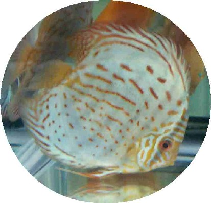 Baby Blue Panda Discus Fish - 2-3 inch - LIMIT 8