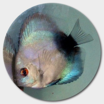 Black & Blue Discus Fish 2-3 Inch