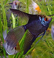 Angelfish - Smokey Half Black Leopard - Medium