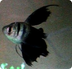 BLACK LONG FIN TETRA - QUANTITY OF 12