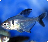 PHANTOM BLACK TETRA - QUANTITY OF 6