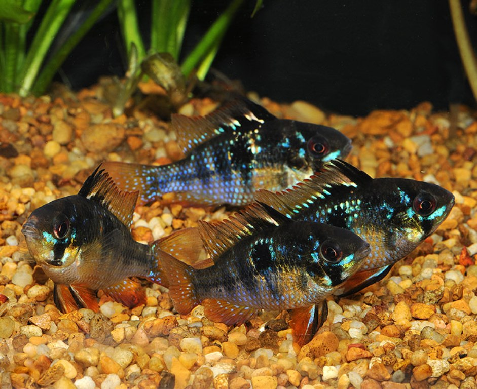 Ram - German Black and Blue - Large Breeder Size