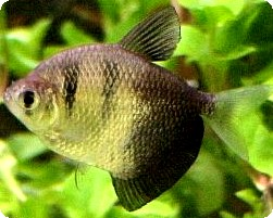 BLACK TETRA - QUANTITY OF 12