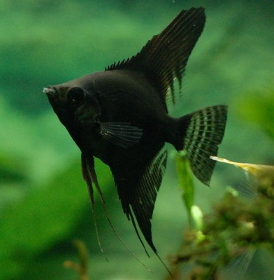 Angelfish - Black - Large