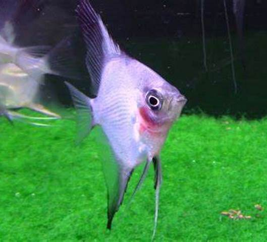 Angelfish - Blue Blushing Ghost - Small