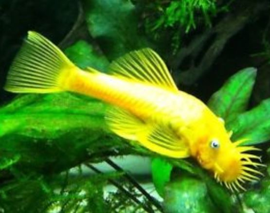 Blue Eyed Lemon Long Finned Bristlenose Pleco 1-2 inch