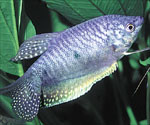 Blue Gourami - Quantity of 3