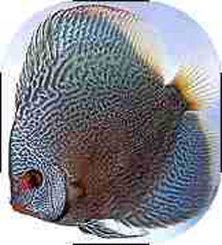 Blue Snakeskin Discus Fish - 2 inch