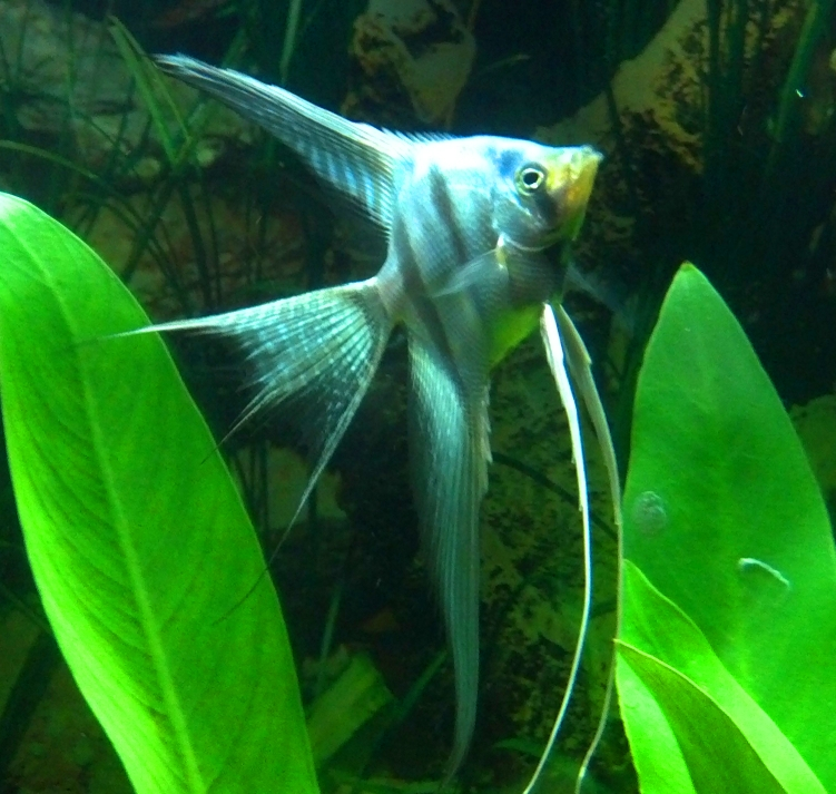 Angelfish - Pinoy Blue Veil - Small