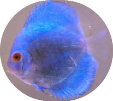 Brilliant Blue Diamond Discus Fish - 2 Inch