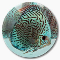 Brilliant Blue Mosaic Discus Fish - 3-3.5 inch