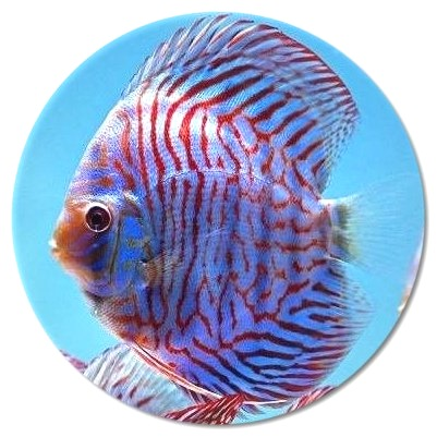 Brilliant Blue Mosaic Tiger Discus Fish 2.5 inch