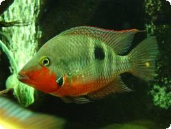 FIREMOUTH CICHLID MEDIUM