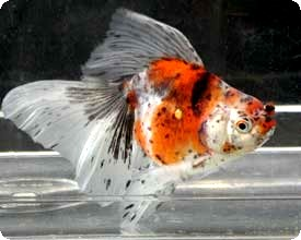 FANTAIL - CALICO - 4-5 inch