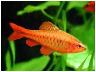 Cherry Barb - Quantity of 3