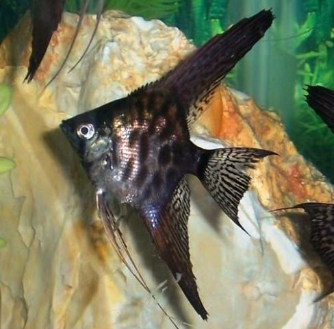 Black Lace Angelfish | Angelfish Fast Shipping High Quality Low Pricing