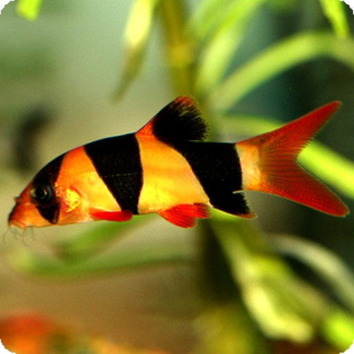 Botia-Loach Clown - 4-5 inch