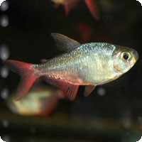 COLUMBIAN RED AND BLUE TETRA - QUANTITY OF 12