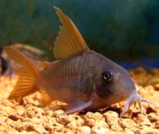 Corydoras - Con Color