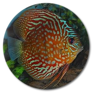 Deep Red Turquoise Discus Fish 2-3 inch