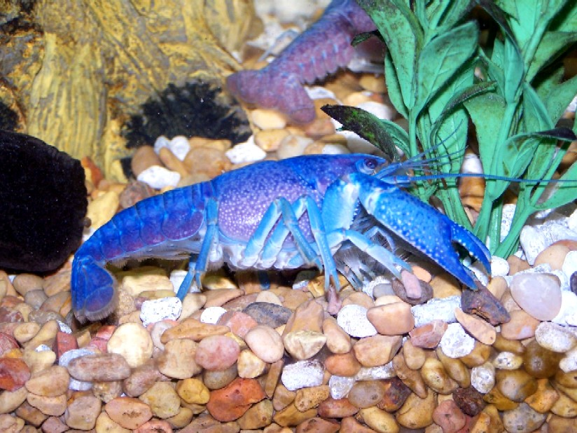 CRAYFISH - ELECTRIC BLUE - SMALL