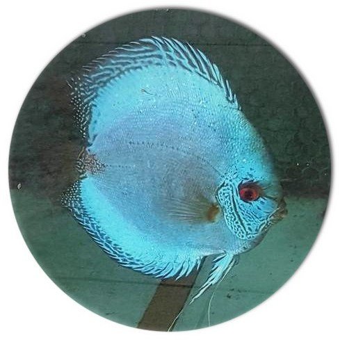 Electric Blue Scorpion Discus Fish - 2.5 inch