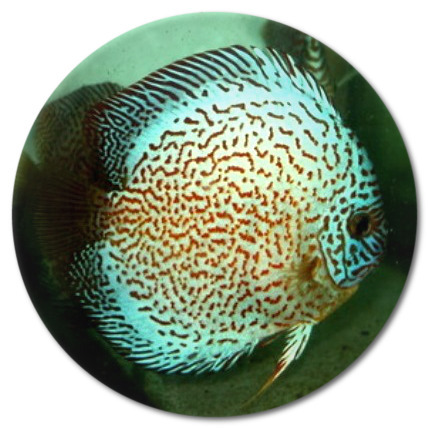Electric Blue Spider Discus Fish  2 inch