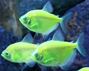 GloFish - * Tetra - Electric Green - 1-2 inch - Quantity of 6