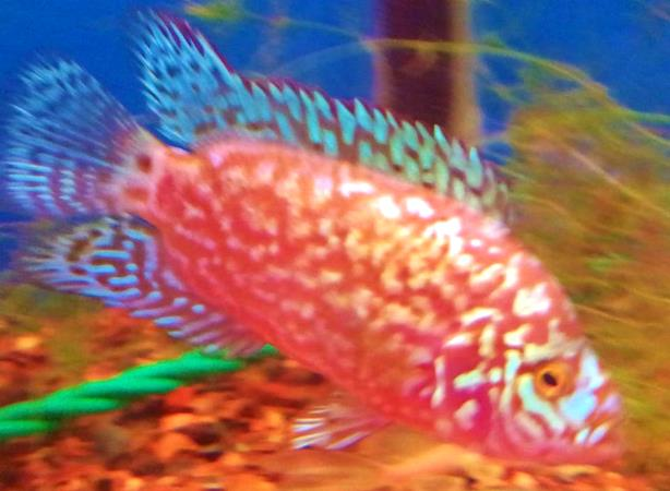Jack Dempsey - Electric Pink - 1-2 inch