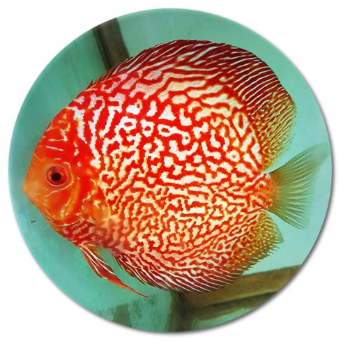 Electric Red Spider Discus Fish  2-3 inch