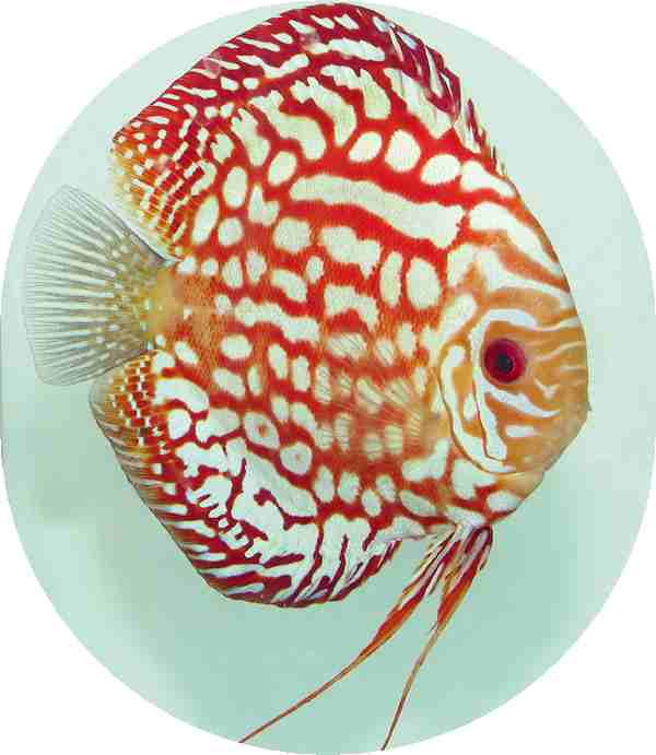 Fire Dragon Discus Fish 3 inch
