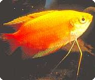 Honey Red Gold Gourami - Quantity of 3