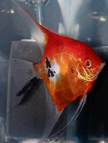 Angelfish - Full Body Orange Koi - Medium